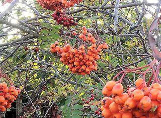 AutumnBerries3