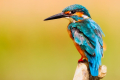 Kingfisher-2046453_640